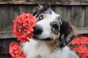 A dog holding a flower in it's mouth. It's adorable.