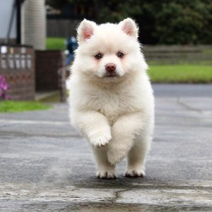 A doggy running